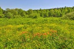 Paisaje del verano del claro floreciente del bosque con la Florida salvaje anaranjada Imagen de archivo libre de regalías