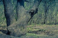 Paisaje del verano con el árbol viejo en el bosque Fotografía de archivo