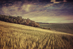 Paisaje del verano con el campo del trigo y del cielo dramático Fotos de archivo