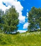 Paisaje del verano con las flores blancas y los abedules verdes Imágenes de archivo libres de regalías