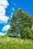 Paisaje del verano con las flores blancas y los abedules verdes Fotos de archivo libres de regalías