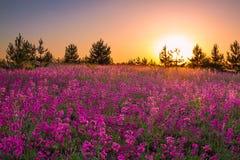Paisaje del verano con las flores púrpuras en un prado y una puesta del sol Foto de archivo libre de regalías