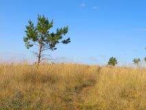 Paisaje del verano con los pinos Fotografía de archivo libre de regalías