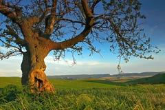 Paisaje del verano con un árbol viejo fotos de archivo