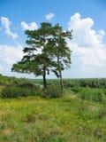 Paisaje del verano. Dos pino-árboles en una batería escarpada Foto de archivo