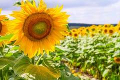 Paisaje del verano - girasoles florecientes Imágenes de archivo libres de regalías