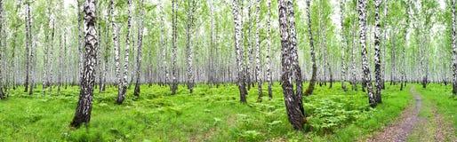 Paisaje del verano del panorama con el bosque del abedul Imagenes de archivo