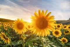 Paisaje del verano: puesta del sol de la belleza sobre campo de los girasoles Fotografía de archivo libre de regalías