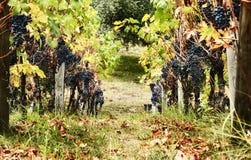 Paisaje del viñedo foto de archivo