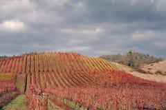 Paisaje del viñedo del otoño Imagenes de archivo
