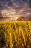 Paisaje dramático del cielo de los campos de trigo hacia luz Foto de archivo libre de regalías