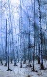 Paisaje en el bosque del álamo temblón - infrarrojo del invierno Foto de archivo