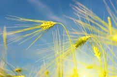 Paisaje escénico con los oídos de la cebada contra el cielo en el sunl Imagen de archivo