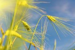 Paisaje escénico con los oídos de la cebada contra el cielo en el sunl Fotos de archivo