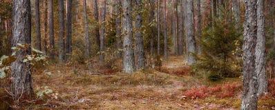 Paisaje escénico panorámico del bosque del pino Imagen de archivo
