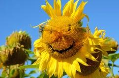 Paisaje fabuloso del girasol con y de la cara con una sonrisa y un s Foto de archivo