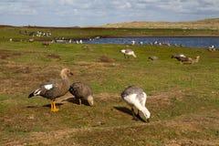 Paisaje Falkland Islands con el ganso Foto de archivo libre de regalías