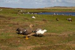 Paisaje Falkland Islands con el ganso de la altiplanicie Imagen de archivo libre de regalías