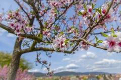 Paisaje floreciente del árbol de almendra en la ruta meridional Alemania del vino de Palatinado Foto de archivo