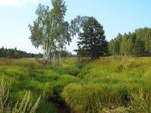 Paisaje herbario de los prados del verano con los árboles de abedul Fotos de archivo