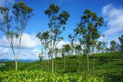 Paisaje hermoso, árbol, colina del té, viaje de Dalat imagen de archivo