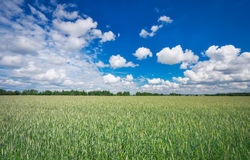 Paisaje hermoso con el campo del centeno y del cielo azul Foto de archivo