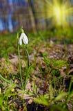 Paisaje hermoso con el snowdrop en el cierre del bosque para arriba Fotografía de archivo libre de regalías