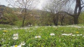 Paisaje hermoso con la corriente de Daisy Flowers On The Foreground y de la montaña en el fondo almacen de metraje de vídeo