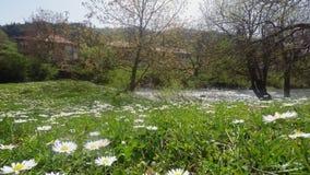 Paisaje hermoso con la corriente de Daisy Flowers On The Foreground y de la monta?a en el fondo almacen de metraje de vídeo