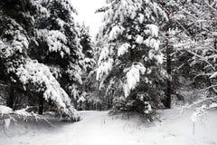 Paisaje hermoso con la trayectoria nevada en bosque denso del bosque entre los árboles el día de invierno Imágenes de archivo libres de regalías