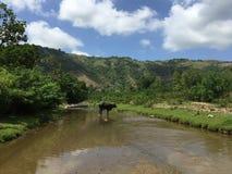 Paisaje hermoso con las montañas y la vaca foto de archivo