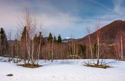 Paisaje hermoso con los árboles de abedul en cuesta nevosa Imagenes de archivo