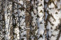 Paisaje hermoso con los abedules blancos Árboles de abedul en sol brillante Arboleda del abedul en otoño Los troncos de los árbol Imagenes de archivo