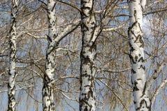 Paisaje hermoso con los abedules blancos Árboles de abedul en sol brillante Arboleda del abedul en otoño Los troncos de los árbol Foto de archivo libre de regalías