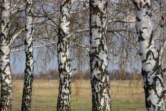 Paisaje hermoso con los abedules blancos Árboles de abedul en sol brillante Arboleda del abedul en otoño Los troncos de los árbol Imagen de archivo libre de regalías