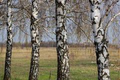 Paisaje hermoso con los abedules blancos Árboles de abedul en sol brillante Arboleda del abedul en otoño Los troncos de los árbol Fotografía de archivo