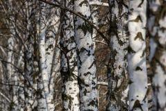 Paisaje hermoso con los abedules blancos Árboles de abedul en sol brillante Arboleda del abedul en otoño Los troncos de los árbol Imagen de archivo