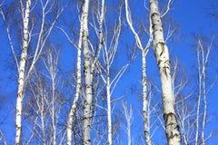 Paisaje hermoso con los abedules blancos contra el cielo azul Imagen de archivo
