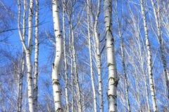 Paisaje hermoso con los abedules blancos contra el cielo azul Fotos de archivo libres de regalías
