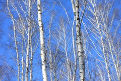 Paisaje hermoso con los abedules blancos contra el cielo azul Foto de archivo libre de regalías
