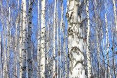 Paisaje hermoso con los abedules blancos contra el cielo azul Fotografía de archivo libre de regalías