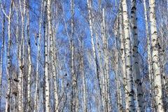 Paisaje hermoso con los abedules blancos contra el cielo azul Imagen de archivo libre de regalías