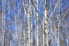 Paisaje hermoso con los abedules blancos contra el cielo azul Foto de archivo