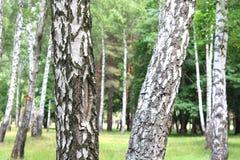 Paisaje hermoso con los abedules jugosos jovenes con las hojas del verde y con los troncos blancos y negros del abedul en luz del Imagen de archivo libre de regalías