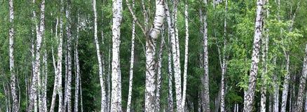 Paisaje hermoso con los abedules jugosos jovenes con las hojas del verde y con los troncos blancos y negros del abedul en luz del Fotos de archivo libres de regalías