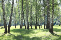 Paisaje hermoso con los abedules jugosos jovenes con las hojas del verde y con los troncos blancos y negros del abedul en luz del Fotografía de archivo libre de regalías