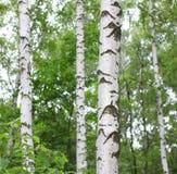 Paisaje hermoso con los abedules jugosos jovenes con las hojas del verde y con los troncos blancos y negros del abedul en luz del Imagen de archivo