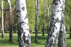Paisaje hermoso con los abedules verdes jugosos jovenes con las hojas del verde y con los troncos blancos y negros del abedul en  Imagenes de archivo
