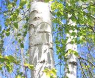 Paisaje hermoso con los abedules verdes jugosos jovenes con las hojas del verde y con los troncos blancos y negros del abedul en  Fotografía de archivo