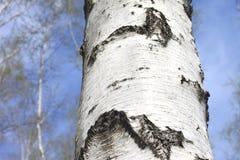 Paisaje hermoso con los abedules verdes jugosos jovenes con las hojas del verde y con los troncos blancos y negros del abedul en  Fotos de archivo